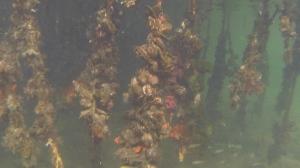 mangrove root communities