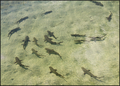 lemon_shark